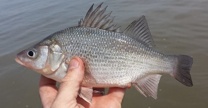 White perch, delaware bay, canary creek, broadkill river, tidal sloughs, sussex county, delaware, winter fishing