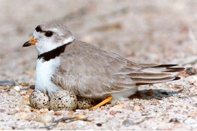 Image result for images plover nest beach
