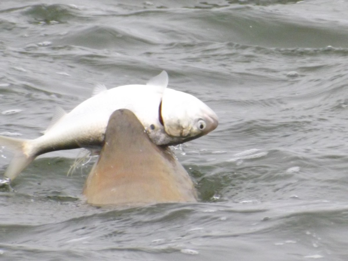 Bill 39 s fishing report lewes delaware for Lewes harbor marina fishing report