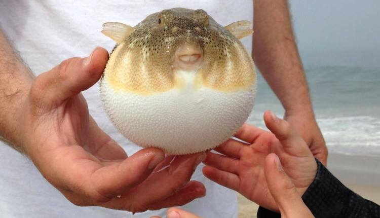 Puffer Fish caught by the Baldwin Family