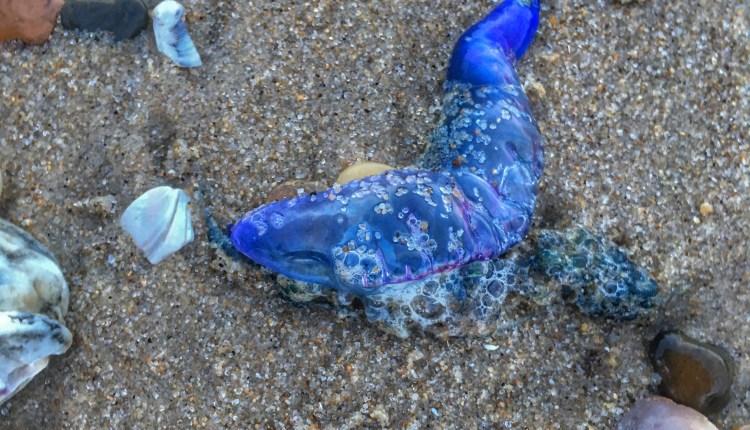 Man O war found on Conquest beach .. photo by Sarah Brasiel