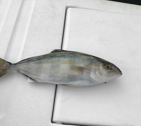 Banded rudderfish caught in the surf near the Indian River Inlet.
