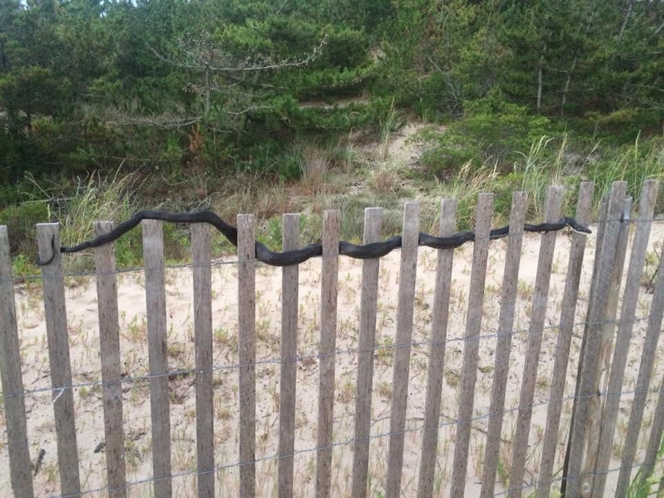 snake in dune fence, lewes, the point, sussex county,cape henlopen state park, dune snake, beach snake, delaware