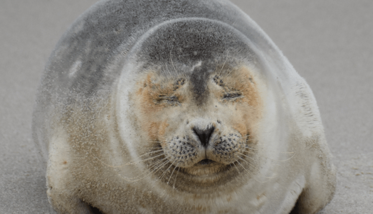 Harp seal at Tower Beach on New Years Day 2019