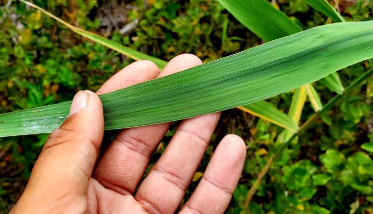 Phragmites australis have wide leaves