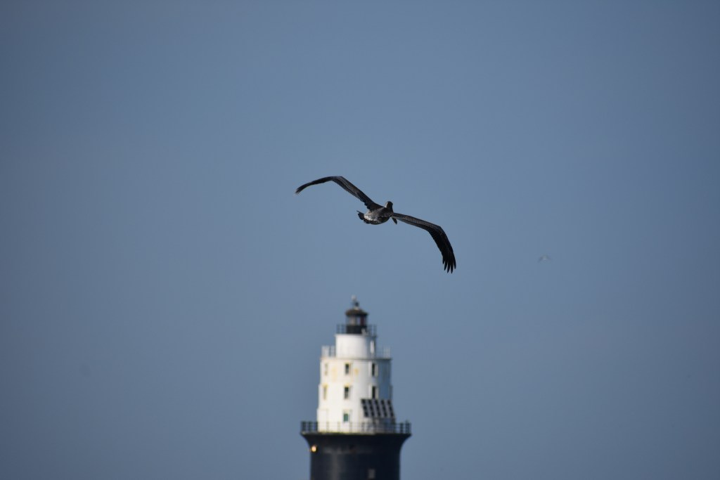 pelican, harbor of refuge lighthouse, the point, cape henlopen state park, delaware, sussex county, lewes