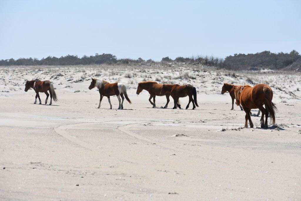 assateague island national seashore, coronavirus, covid 19, maryland, delaware surf fishing, tahoe, wild horses