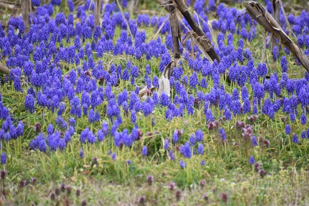 grape hyacinth, muscari armeniacum, sussex county, farmer fields