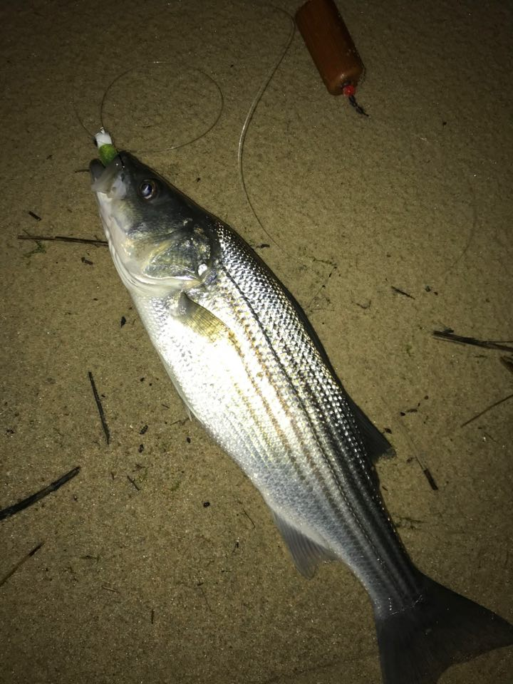 striped bass, rockfish, popper with fly,
