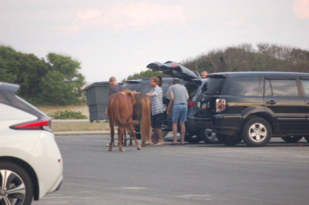 assateague pony ridden by tourist, maryland, national seashore park, assateague island