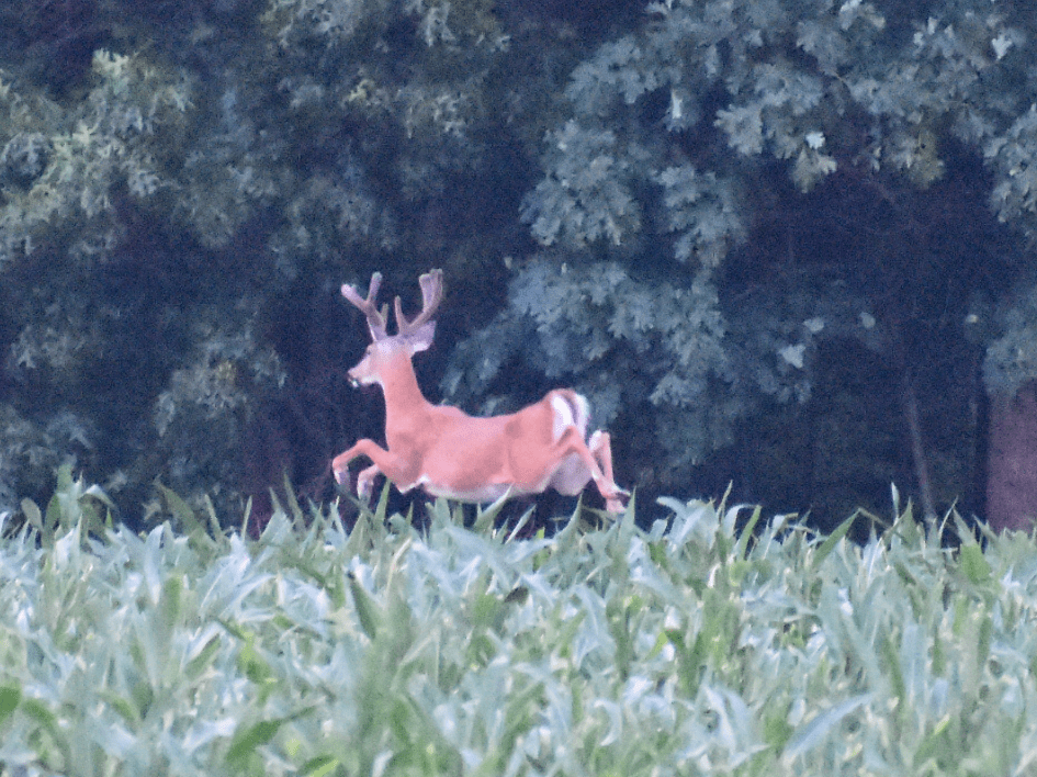 deer, white tail, delaware, sussex county QMD, land of giants
