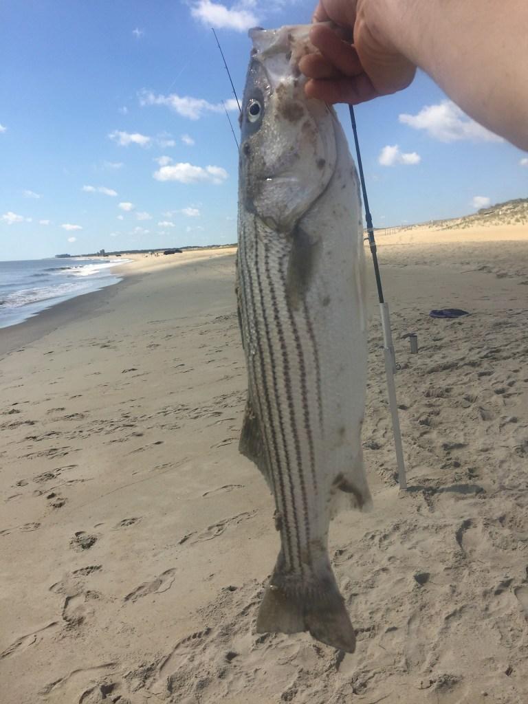 stripd bass, delaware surf fishing,