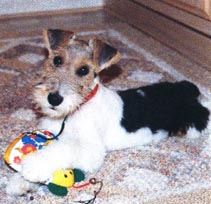 GROOMING THE WIRE FOX TERRIER