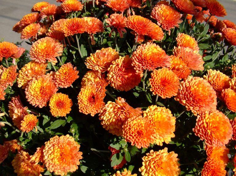 crizanteme-30_47fec5227fed86