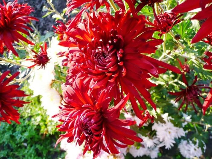 crizanteme-58879x1024