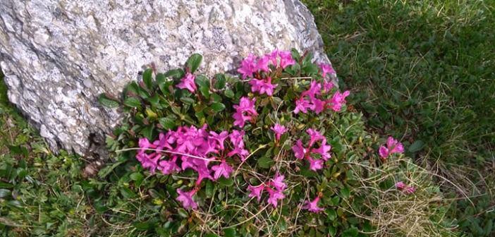 În căutare de Rododendron