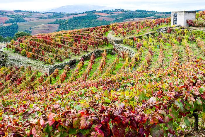 Weinberg im Herbst