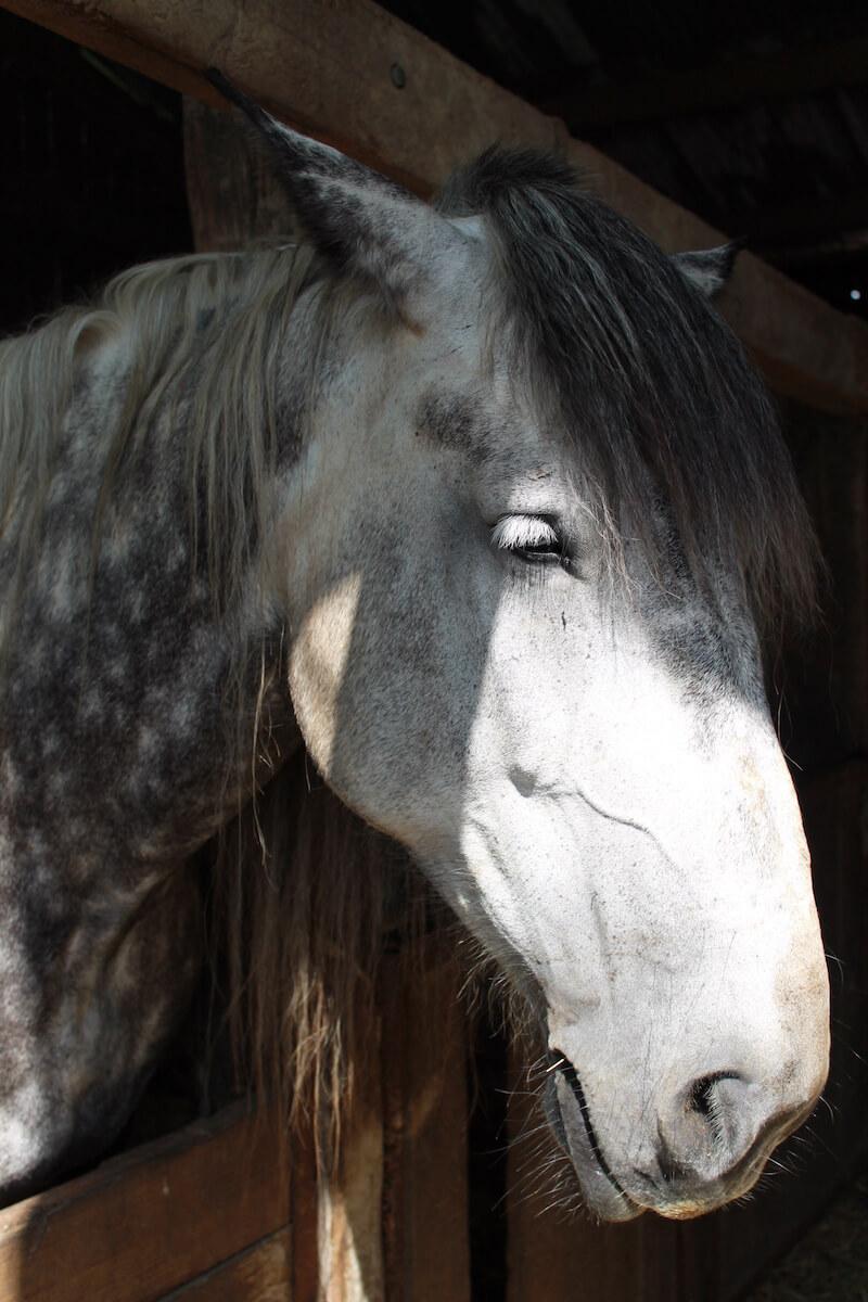 Percheron-Pferd, Foto: Orne Tourisme