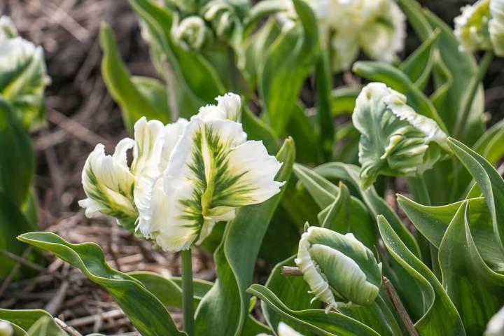 weiße Tulpen, Tulpenroute Flevoland
