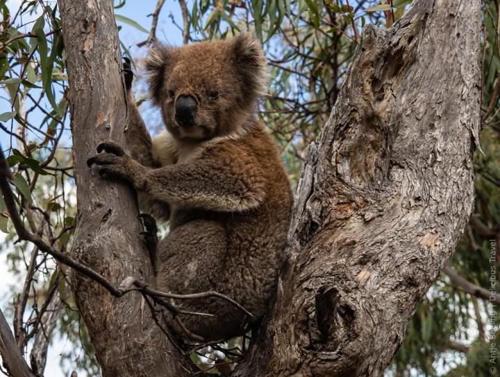 Fotografenglück: Koalas schlafen bis zu 22 Stunden am Tag.