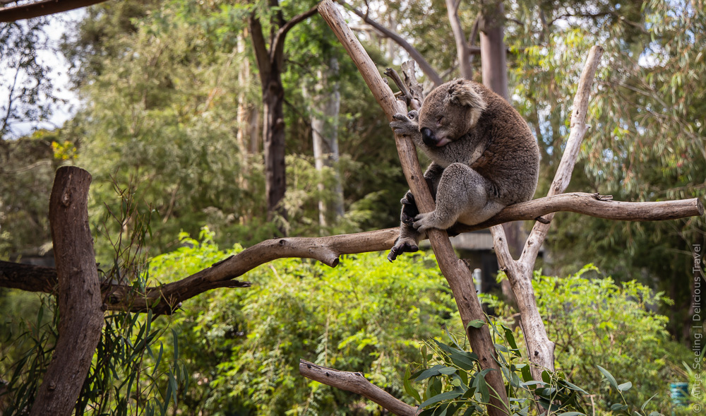 schlafender Koala