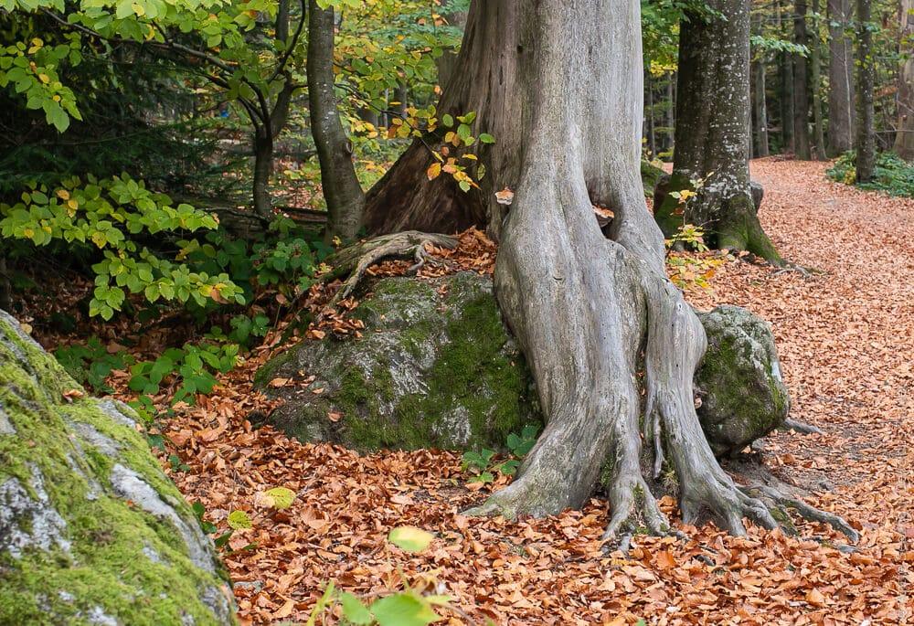 Waldbaden: Wurzeln als Kunstwerke
