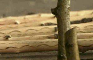 Neflier-tronc