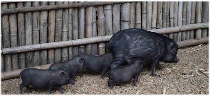 Nos producteurs de porcs noirs de Bigorre ou pas, ont de quoi trembler