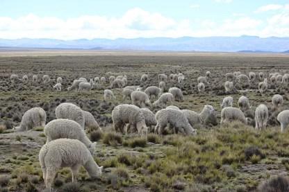 Andenhochland Lamas Peru