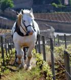 ドメーヌ・ロドルフ・ドゥモジョ の畑で作業をする馬