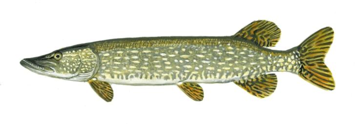 PIKE - Bay De Noc Charters - Upper Michigan Fishing Charters Trips