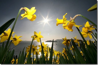 DaffodilsSWNS_450x300