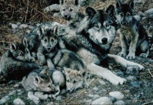 Wolf and her cubs