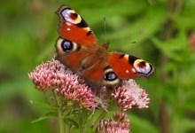 Photo of Komende zondag vlinderexcursie met Natuurvereniging Wierhaven