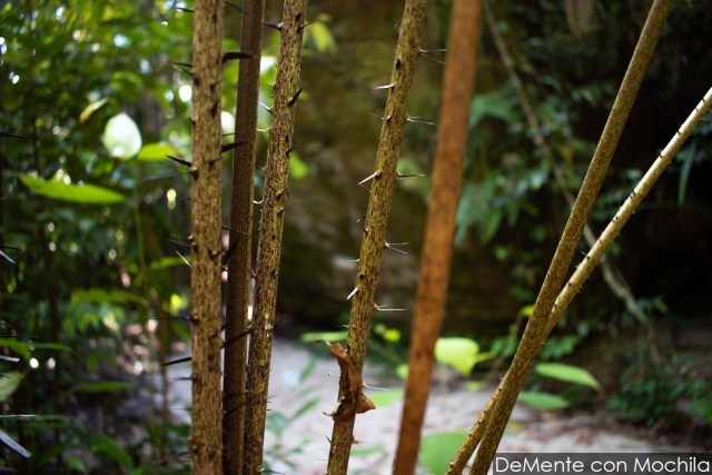 Ramas con espinas en el sendero Delima