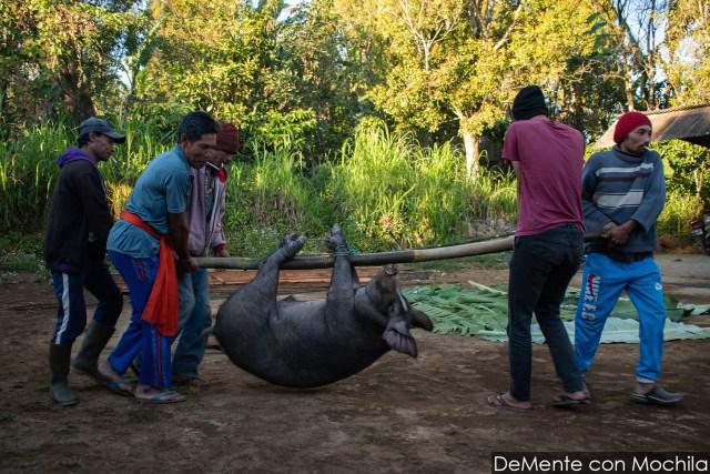 hombres cargan cerdo
