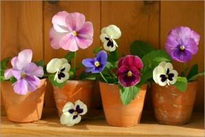 Pansies in Plant Pots wall art at www.dementiaworkshop.co.uk
