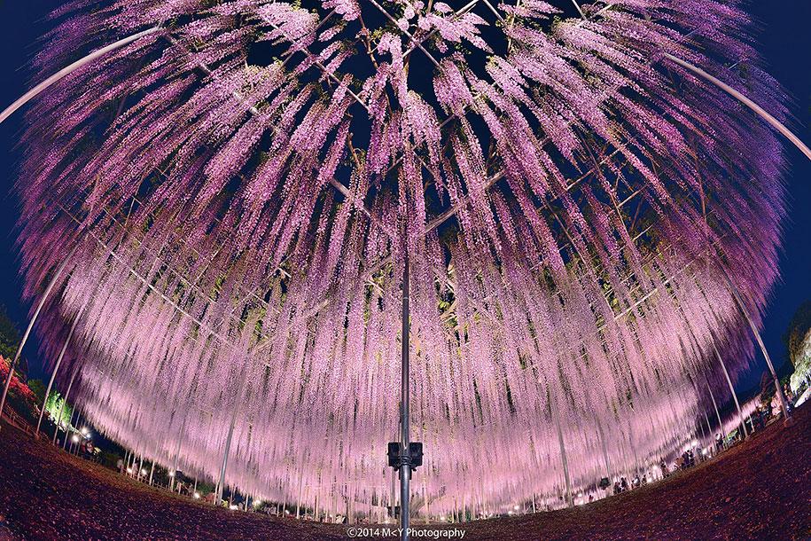 large-old-wisteria-bloom-japan-4