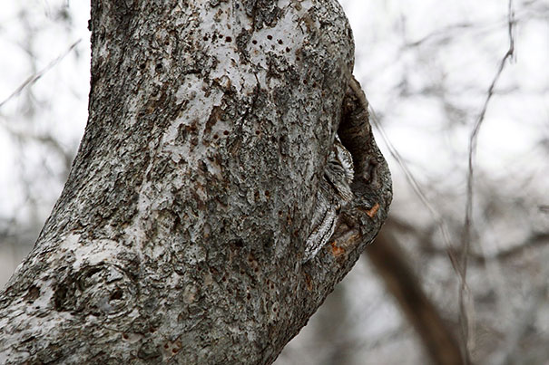 owls-comouflage-nature-photography-10