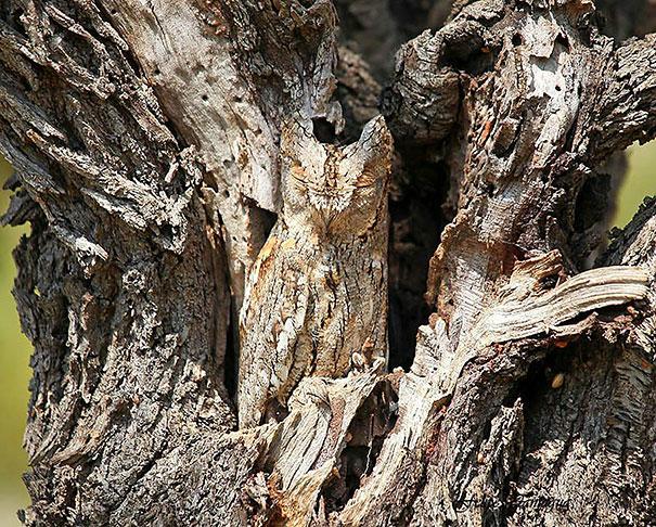 owls-comouflage-nature-photography-3