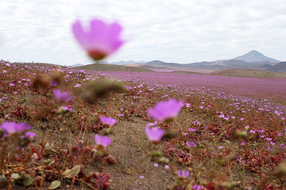 worlds-driest-desert-heavy-rains-flower-blooms-chile-2