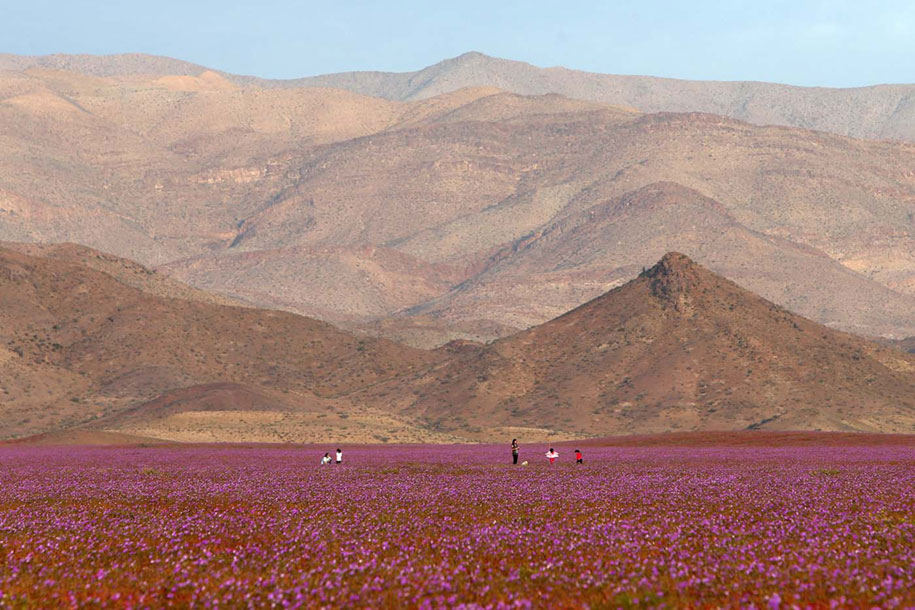worlds-driest-desert-heavy-rains-flower-blooms-chile-7