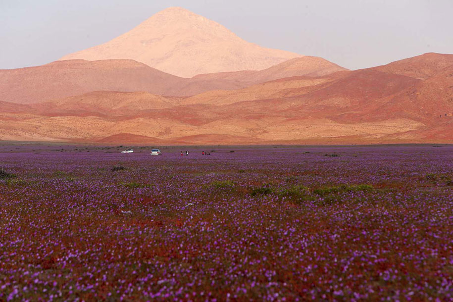 worlds-driest-desert-heavy-rains-flower-blooms-chile-8