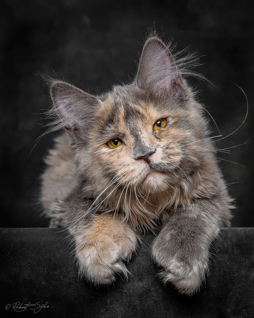 biggest-maine-coon-cat-photography-robert-sijka-3
