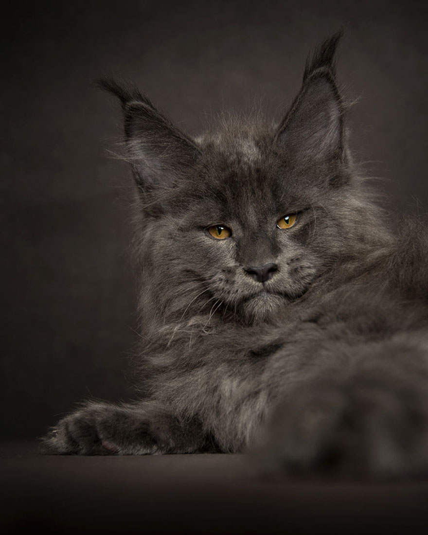 biggest-maine-coon-cat-photography-robert-sijka-8