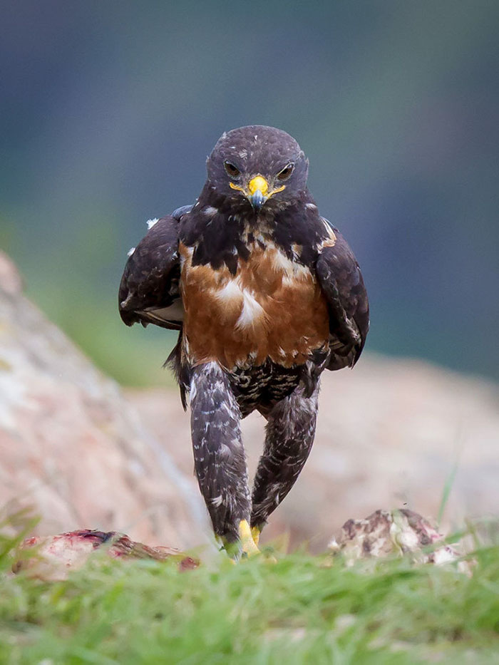 funny-badass-hawk-photoshop-battle-9