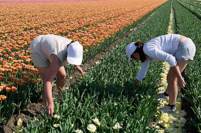 flower fields aerial photography netherlands normann szkop 3 - Show de cores nas fotos aéreas de tulipas holandesas