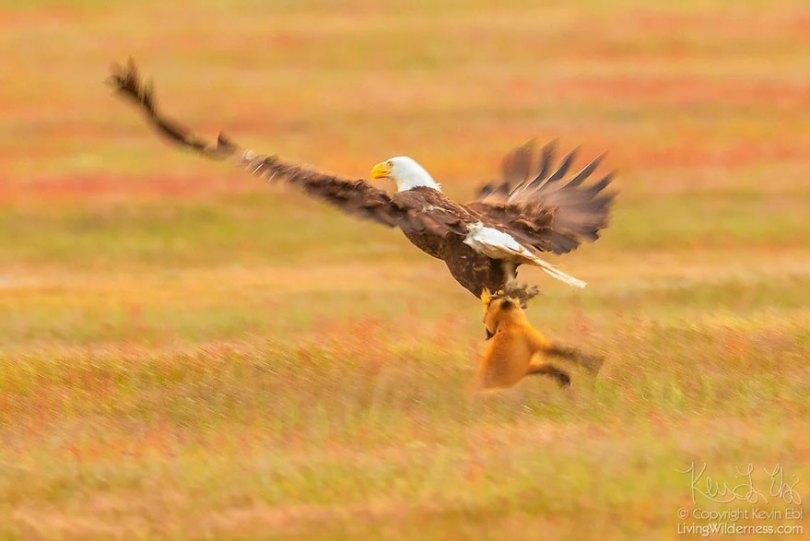 5b07de8f8b743 wildlife photography eagle fox fighting over rabbit kevin ebi 1 5b0661e3e2b7e  880 - Incrível! Fotógrafo captura uma batalha rara entre raposa, águia e coelho