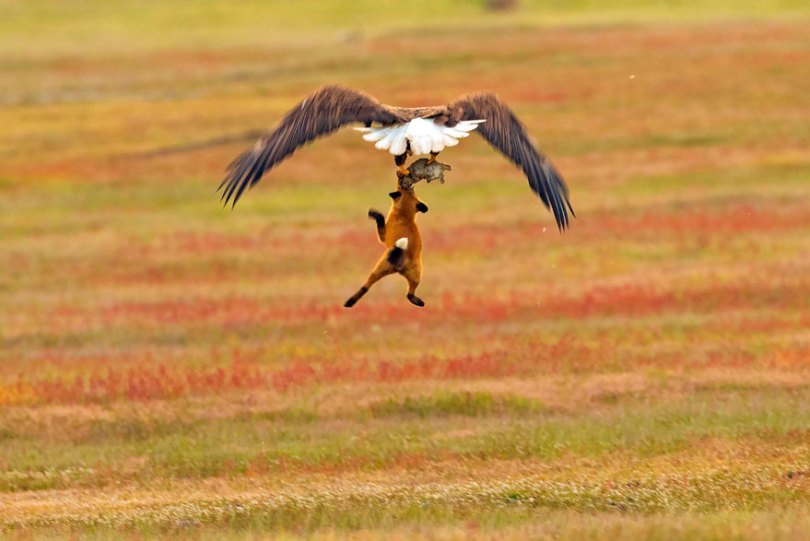 5b07de907de49 wildlife photography eagle fox fighting over rabbit kevin ebi 6 5b0661edc4434  880 - Incrível! Fotógrafo captura uma batalha rara entre raposa, águia e coelho