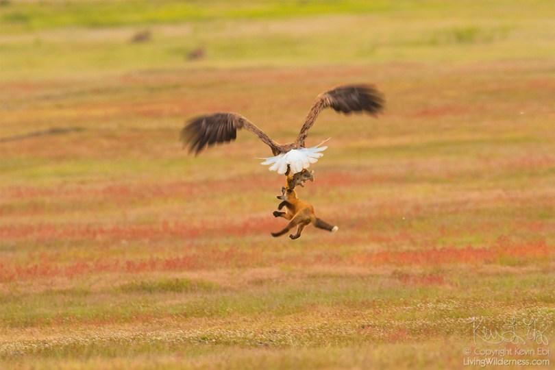 5b07de9131977 wildlife photography eagle fox fighting over rabbit kevin ebi 15 5b066362d8ec7  880 - Incrível! Fotógrafo captura uma batalha rara entre raposa, águia e coelho